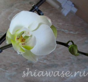 зацвела моя орхидея