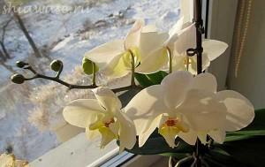 орхидея-цветет