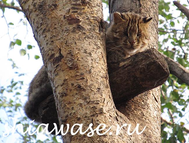 дикий-кот