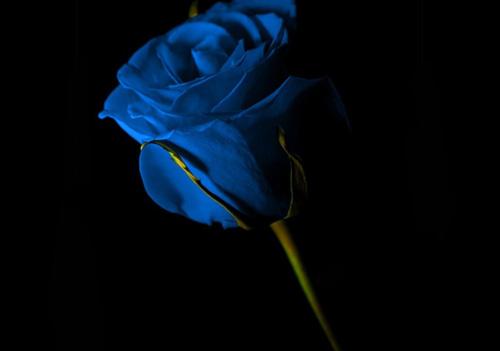 темно-синяя-роза