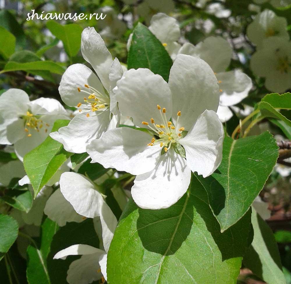 цветут-сады
