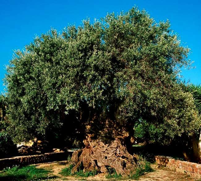 денежное-дерево