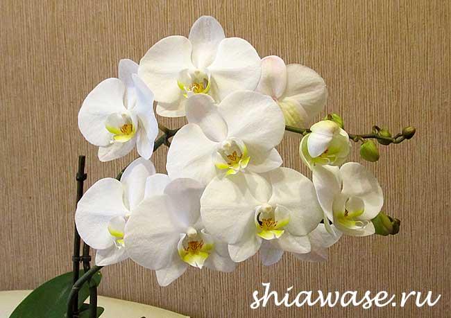 зацвела-орхидея