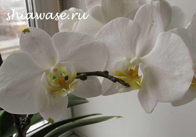 есть ли период покоя у орхидеи