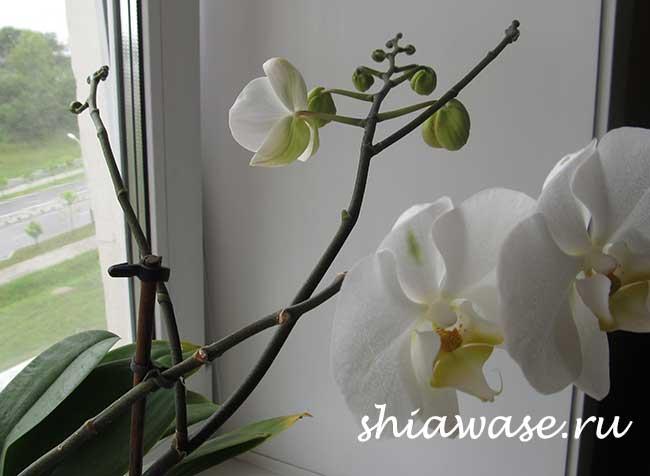 правильный уход за орхидеей