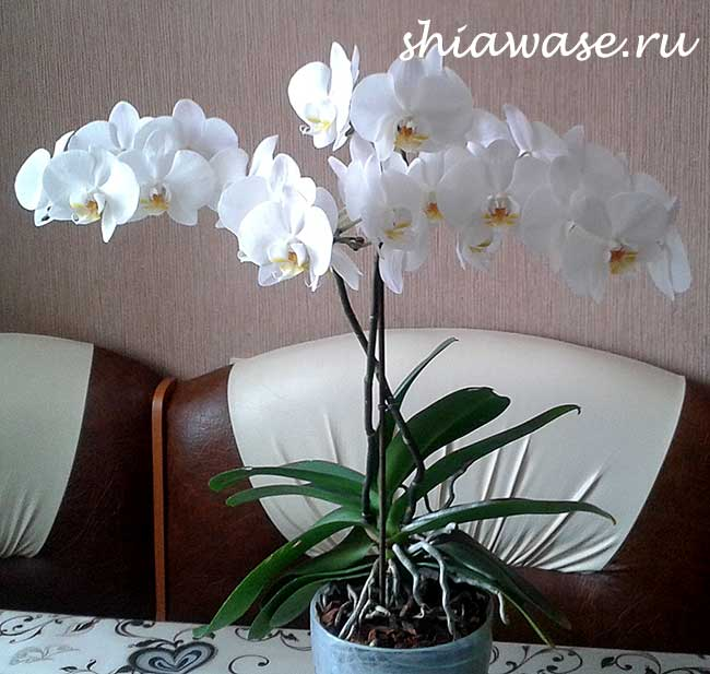 правильный уход за орхидеями