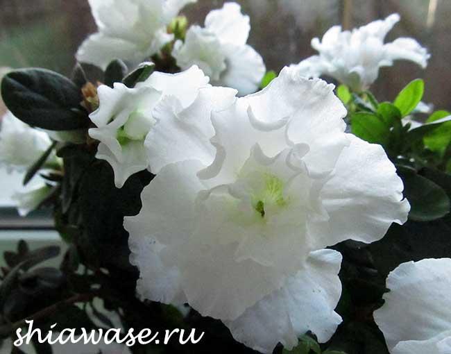 cvety-pobeditelnice