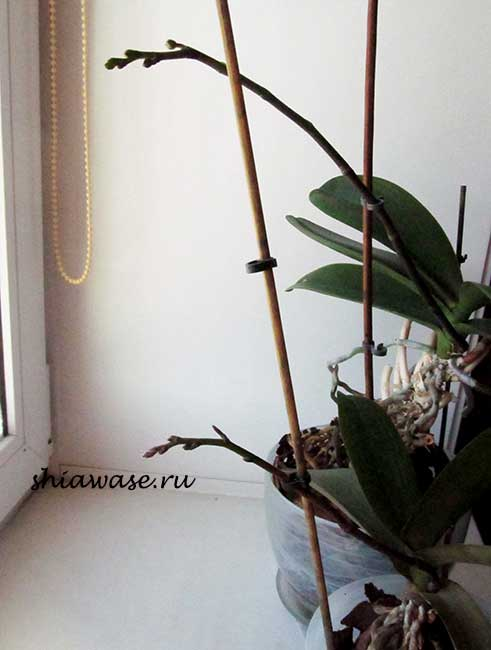 orhideys