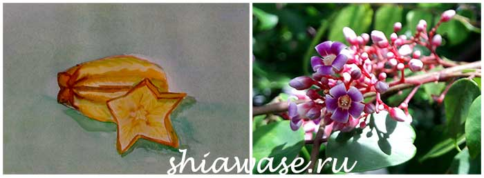 цветок-и-плод-карамболы